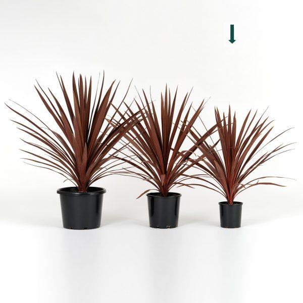 Cordyline australis Red Star 14cm