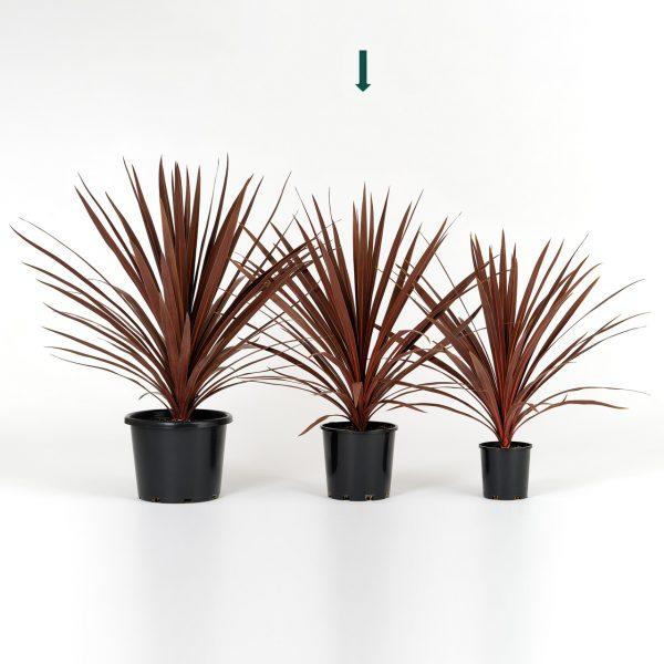 Cordyline australis Red Star 20cm