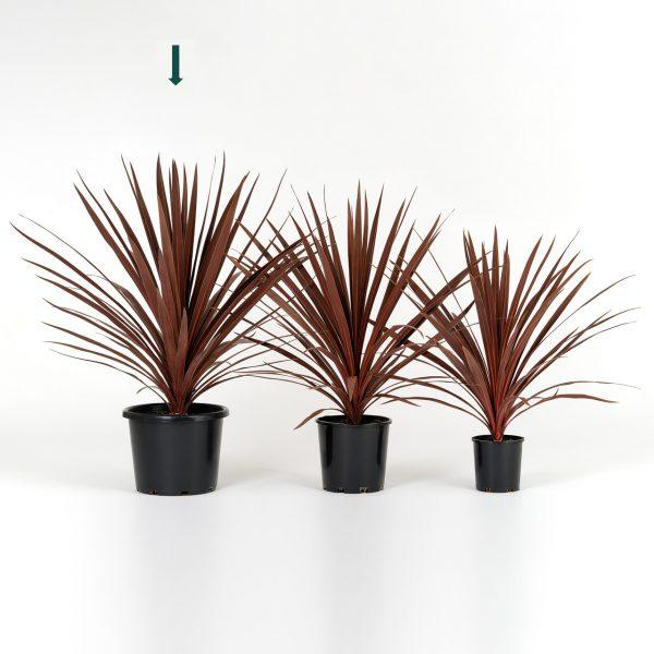 Cordyline australis Red Star 25cm