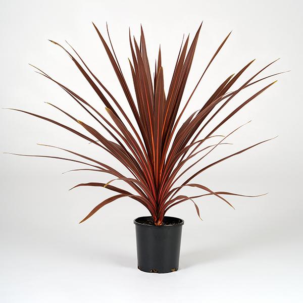 cordyline-red-star-14cm