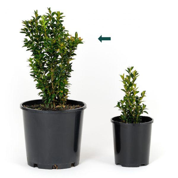 Buxus sempervirens 20cm