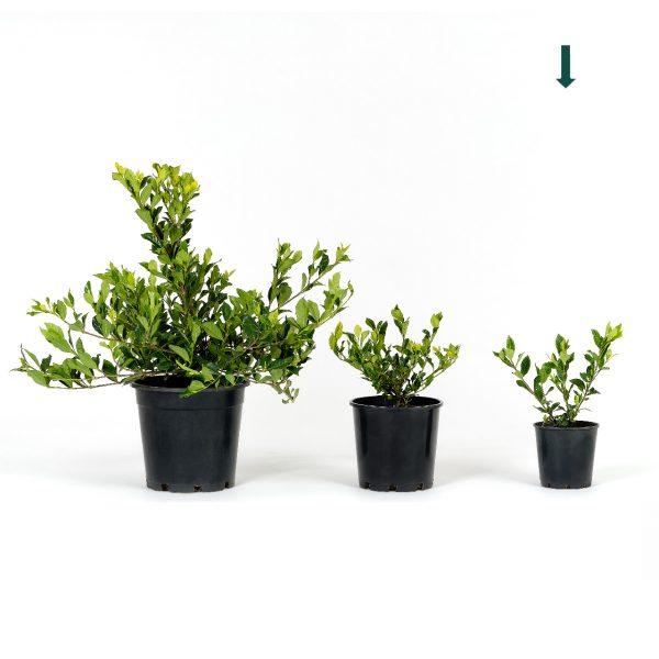 Gardenia augusta 14cm