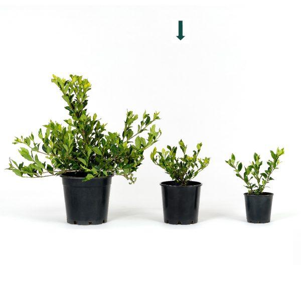 Gardenia augusta 20cm