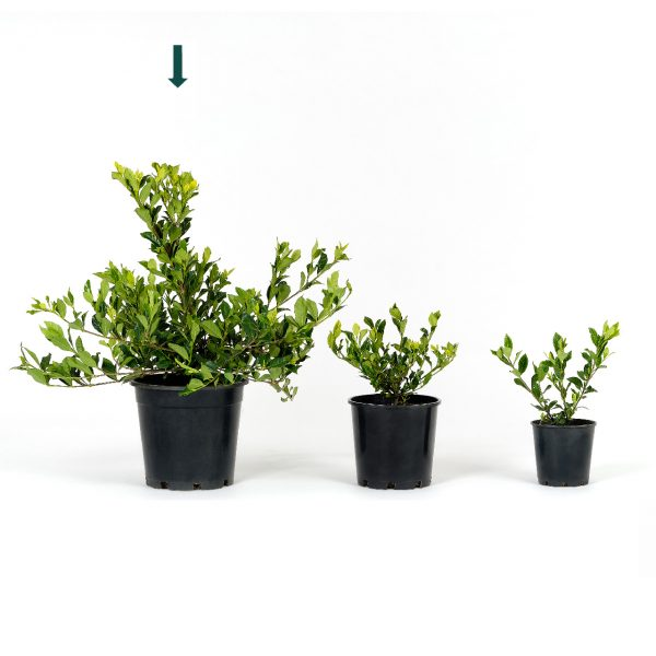Gardenia augusta 25cm