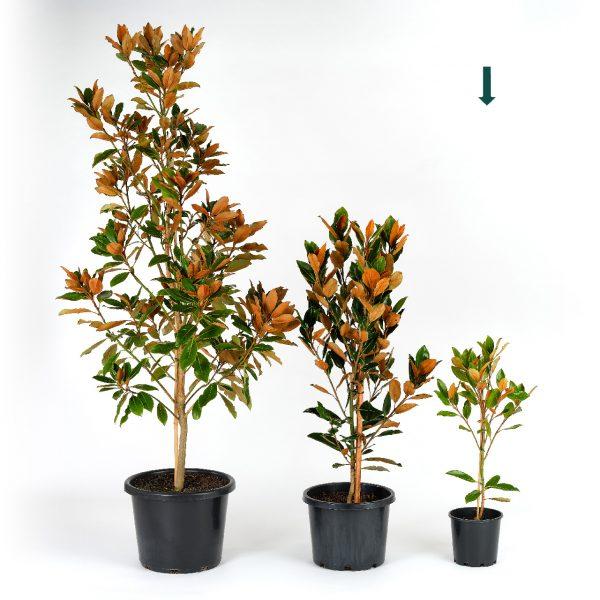 Magnolia grandiflora Little Gem 20cm