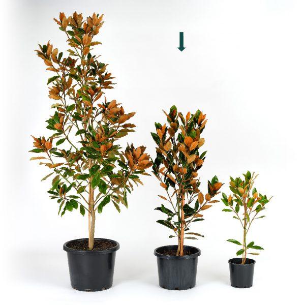 Magnolia grandiflora Little Gem 30cm