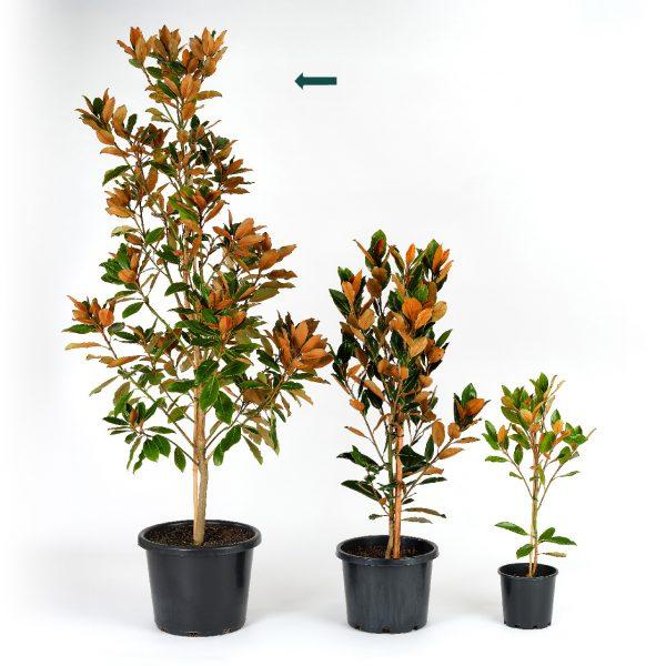 Magnolia grandiflora Little Gem 40cm