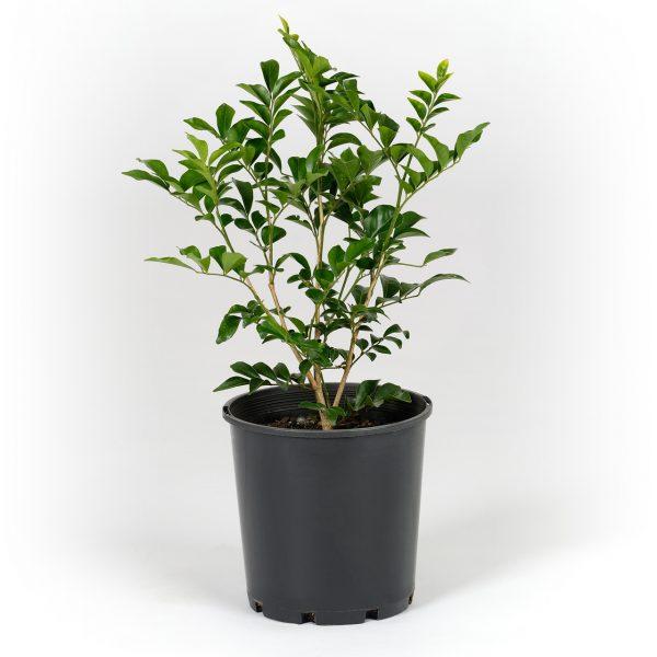 Murraya paniculata 14cm