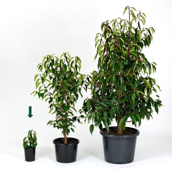 Prunus lusitanica 14cm