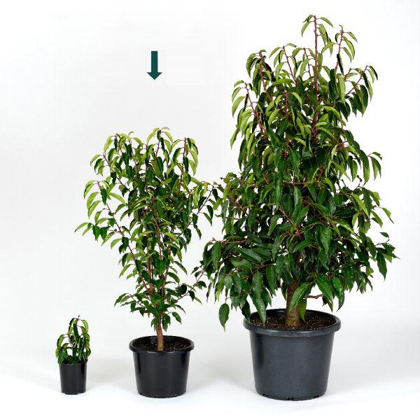 Prunus lusitanica 25cm