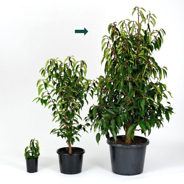 Portuguese Laurel Size 40CM