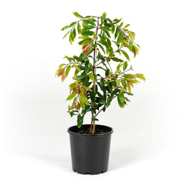 Waterhousea floribunda