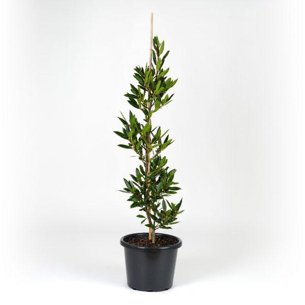 Laurus nobilis 30cm