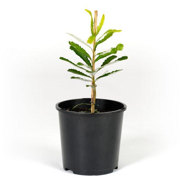 Banksia integrifolia 20cm