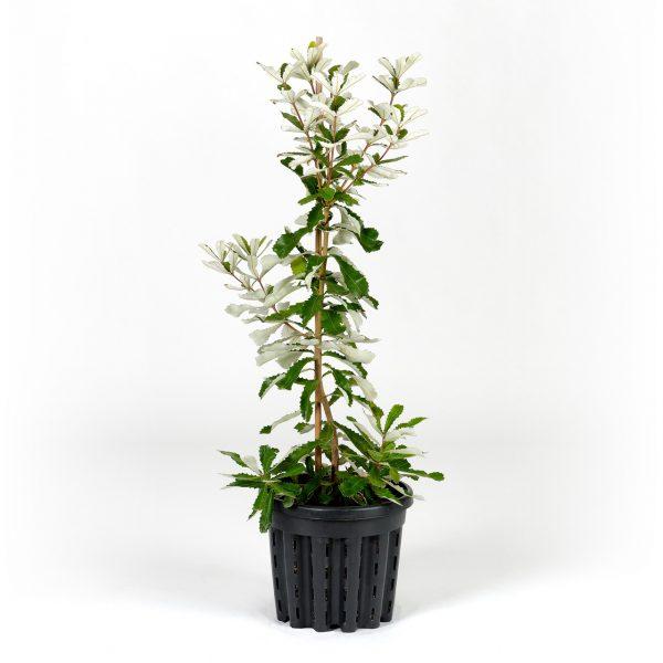 Coastal-Banksia-30cm