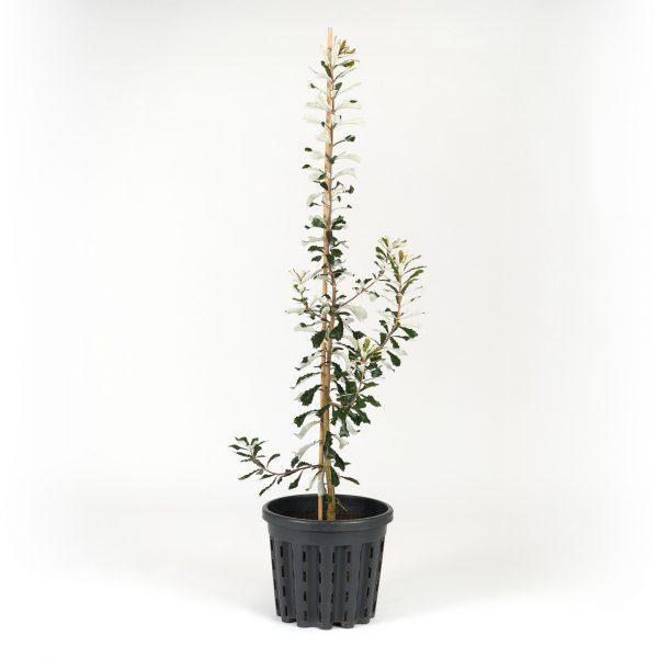 Coast Banksia 40cm