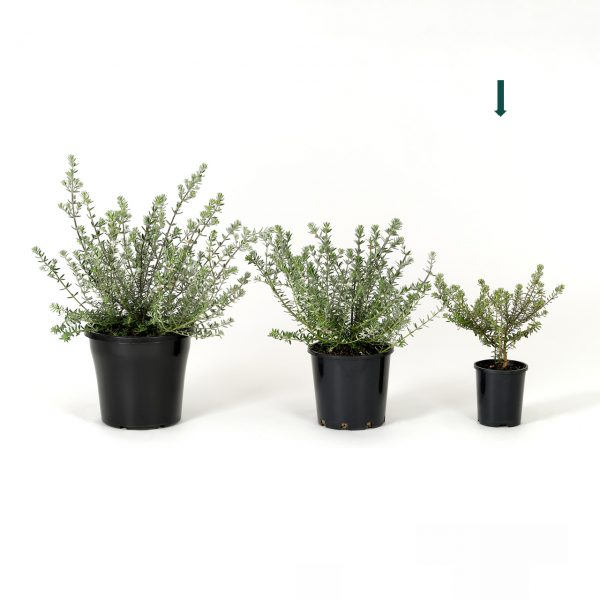 Westringia fruticosa 14cm