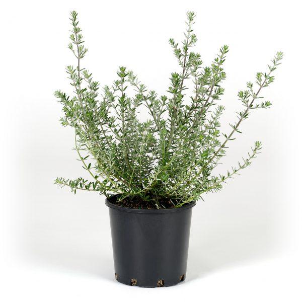Coastal Rosemary 20cm