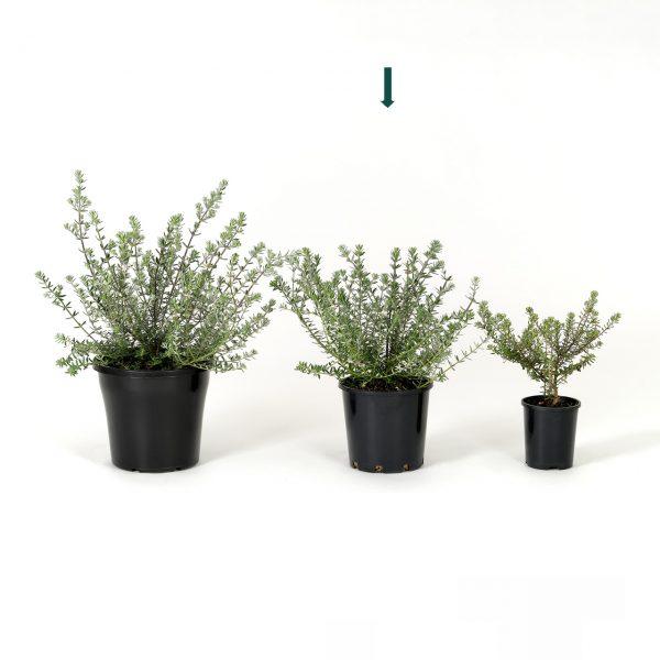 Westringia fruticosa 20cm