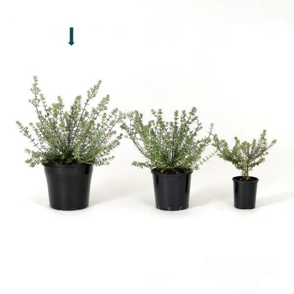 Westringia fruticosa 25cm