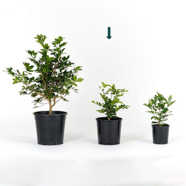 Murraya paniculata 20cm