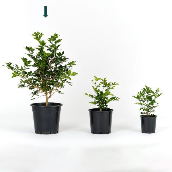 Murraya paniculata 25cm