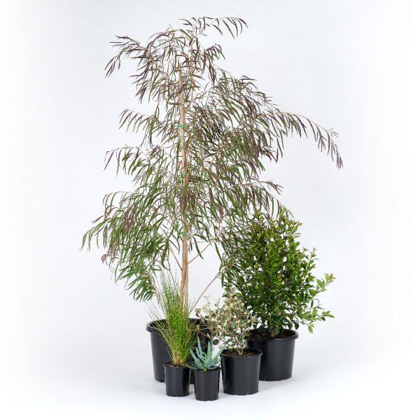 Standard Coastal Plants