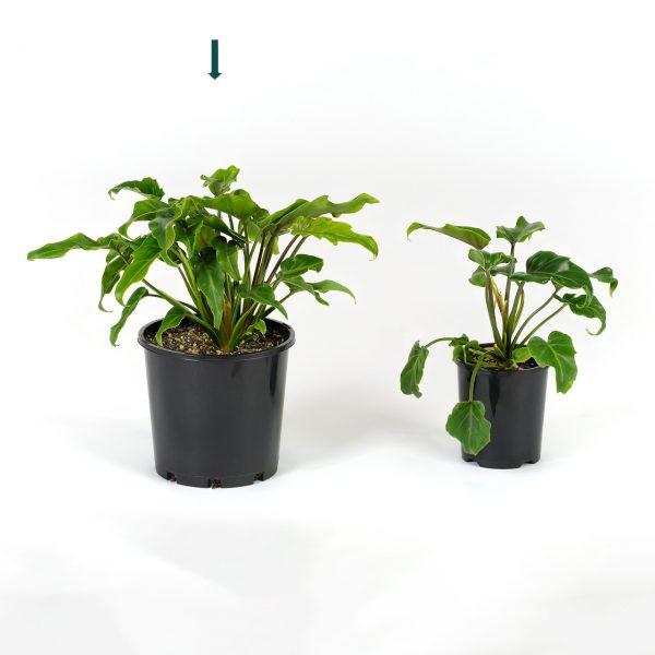 Philodendron Xanadu 20cm